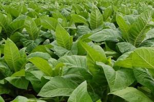 φυτά καπνά