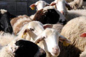 αιγοπρόβατα λευκά και μαύρα