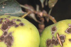 μήλα με καρπόκαψα
