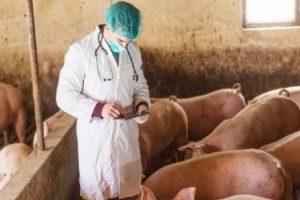 γουρούνια και κτηνίατρος