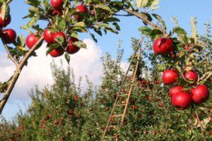 μηλιές κόκκινες, φυτώριο