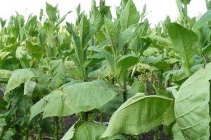 φυτά καπνού πράσινα