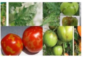 ιός ρυτίδωσης ντομάτας