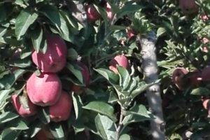 μήλα κόκκινα σε δέντρα