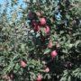 μηλιές κόκκινες
